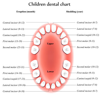 Tooth Eruption Chart - Pediatric Dentist in Rochester, MN